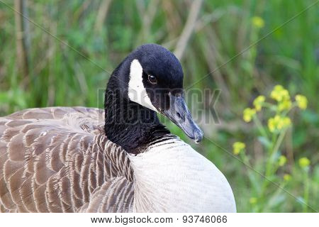 Shy Cackling Goose