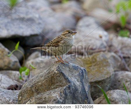 The Sparrow's Prey