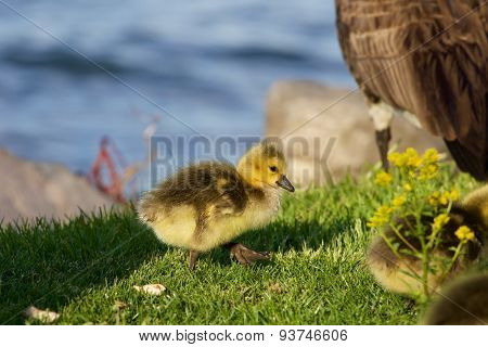 Cute Happy Chick Is Going Near The Water