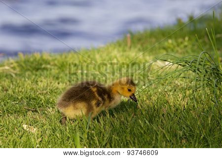 Cute Chick Is Searching Something In The Grass