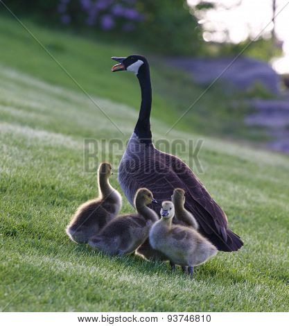 Mother-goose Protects Her Children From The Dog