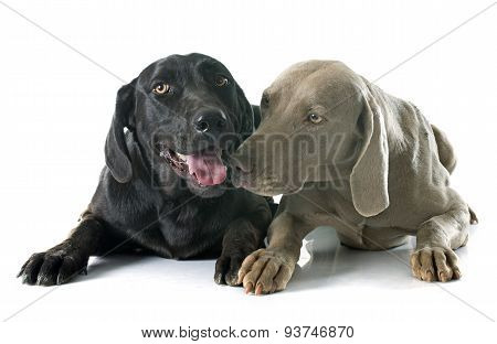 Labrador Retriever And Weimaraner