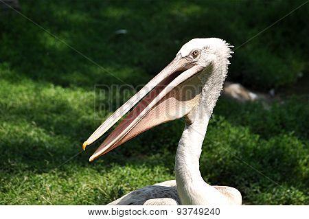 bird - Pelican