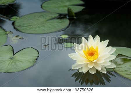 yellow lotus flower and lotus flower plants
