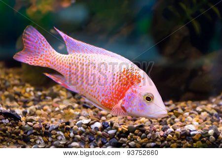 Aulonocara Fish