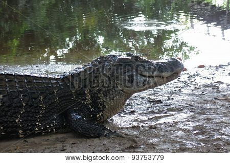 Caiman (caimaninae) At Madidi National Park, Bolivia