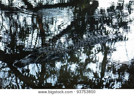 Caiman Camouflaged In The Water, Bolivia