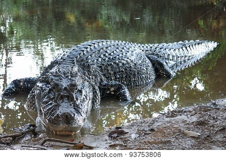 Black Caiman At Madidi National Park, Bolivia