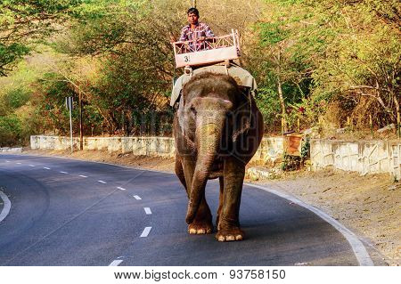 Elephant walking on the street carrying driver