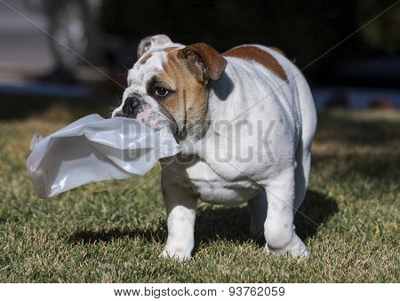 Bulldog puppy with a smashed bottle