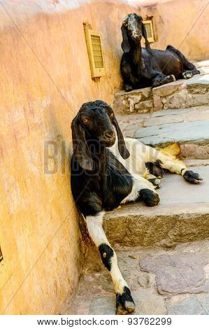 Goats Are Sitting On The Footpath In Jaipur, India
