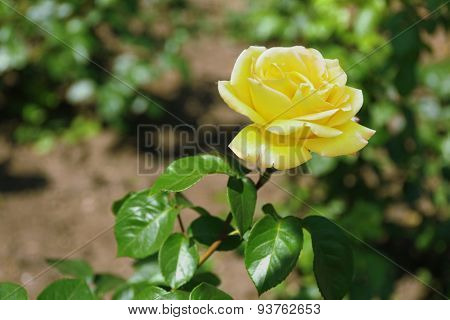 Beautiful rose on green bush in garden