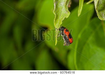 Gonioctena decemnotata beetle having rest hanging on a leaf