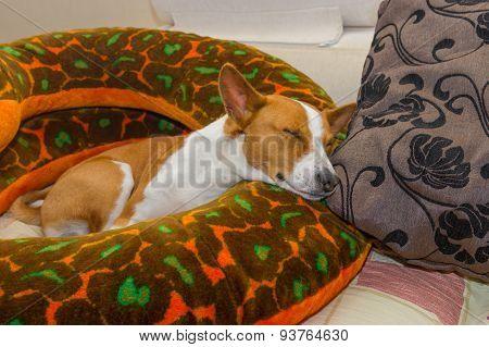 Basenji having rest on a sofa