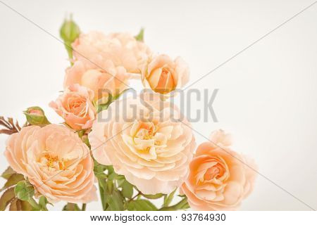 Pink Roses On Plant