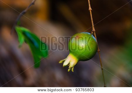 Branch With Small Green Pomegranate