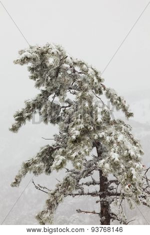 snow-covered pine tree in a fog on a background of pine forest in the mountains