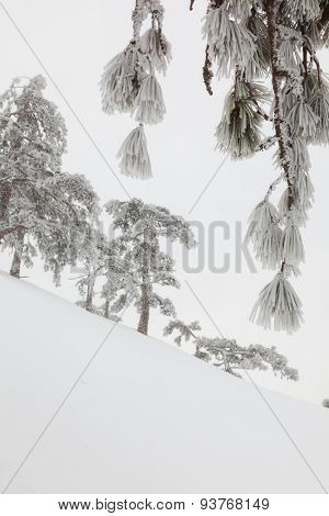 snow-covered landscape in the coniferous forest in the mountains through the branches in hoarfrost