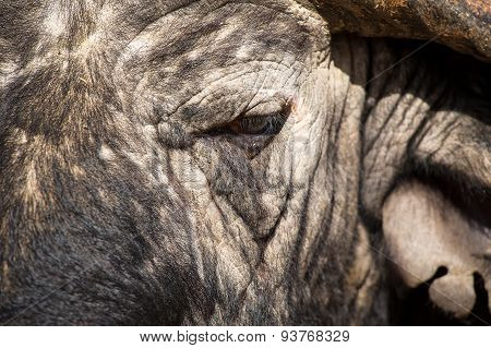 Cape Buffalo Face Close-up With Small Eye And Texture