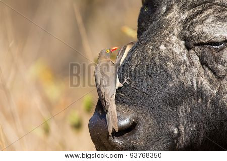 Cape Buffalo With Red-billed Ox-pecker Looking For Insects