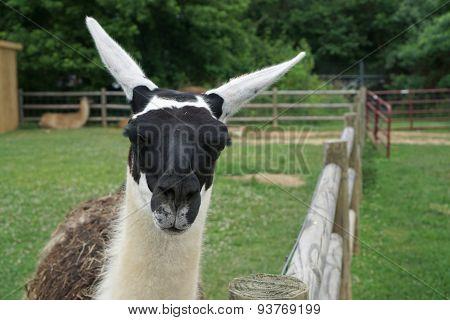 Llama saying hello