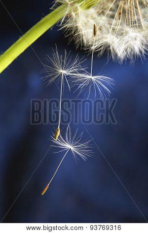 Flying Dandelion Seeds