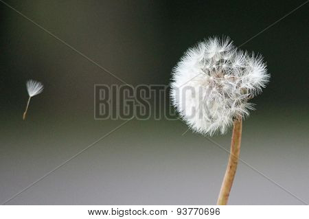 Dandelion with seed on the breeze