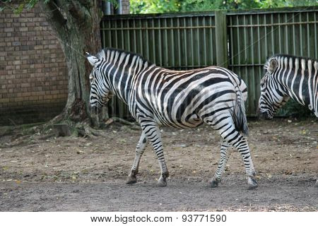Black And White Zebra At Zoo