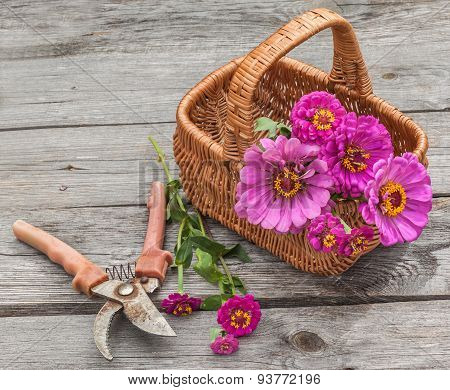 Bouquet Of Pink Zinnias In A  Basket