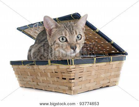 Bengal Cat Silver