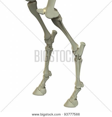 Horse Hind Leg Bones - Horse Equus Anatomy - Isolated On White