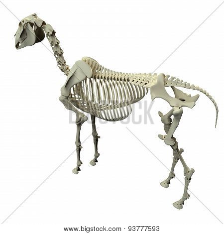 Horse Skeleton Back View - Horse Equus Anatomy - Isolated On White