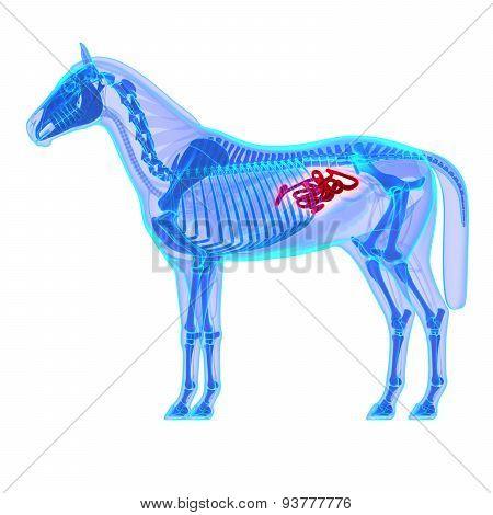 Horse Small Intestines - Horse Equus Anatomy - Isolated On White