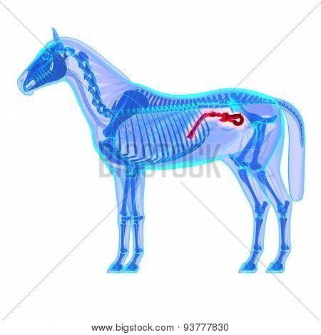 Horse Small Colon Transverse - Horse Equus Anatomy - Isolated On White
