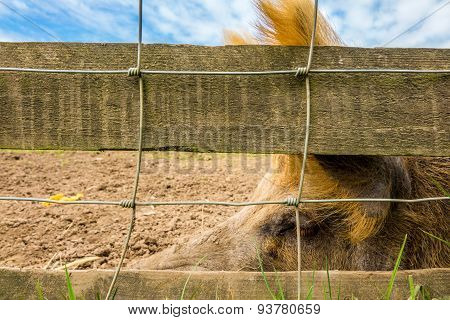 Big pig behind a fence