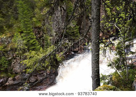 Spruce Tree  By Canyon