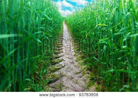 Tire Track In Wheat Field