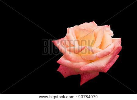 Rose Flower Isolated On Black