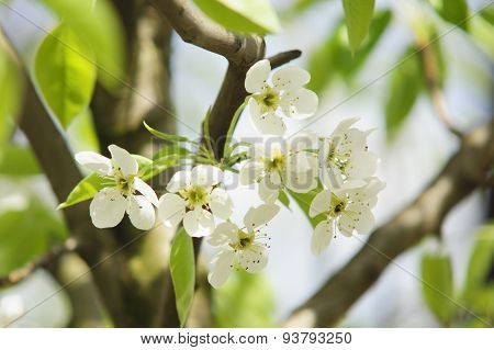 The Pear Flowers