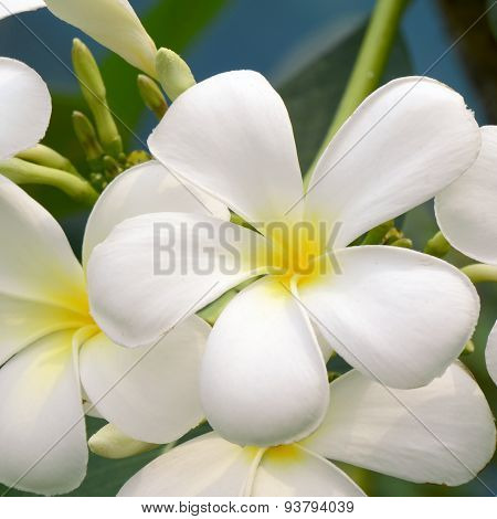 White and yellow Plumeria spp.