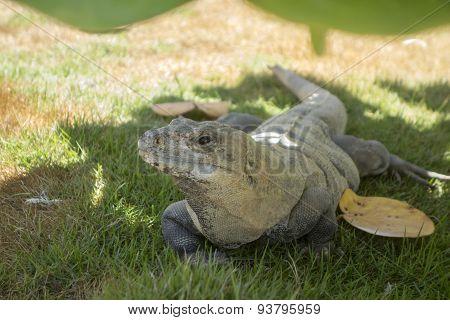 Curious Mexican Iguana