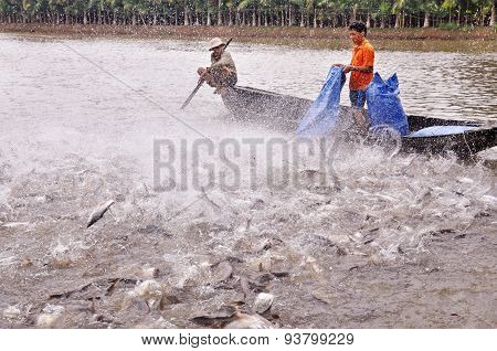 CAN THO VIETNAM - JULY 1 2011: Farmers are feeding pangsius catfish in their pond in the mekong delt