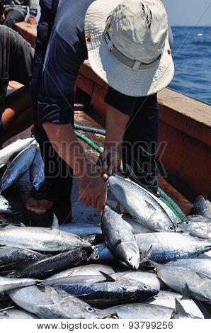 A bumper catch of tuna fish