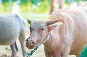 stock photo of carabao  - White Buffalo or Albino buffalo in farm - JPG