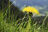 picture of bavaria  - Dandelion flower on mountain Breitenstein in the Alps in Bavaria Germany - JPG