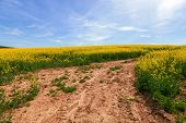 image of rape  - Rape field - JPG
