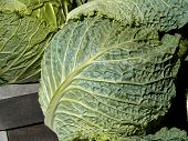stock photo of water cabbage  - Fresh green organic cabbage in farmers street market - JPG