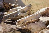 stock photo of cow skeleton  - cow skulls lying on the animal furs - JPG