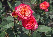 stock photo of rose close up  - Bush red rose close - JPG