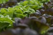 picture of greenhouse  - close up of lettuce crops in a row in greenhouse - JPG
